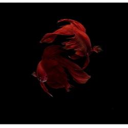 ترنزیت مارس به نشان ماهی؛ راهب درونی جنگجو